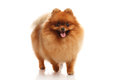 Pomeranian spitz on the white background Stock Image