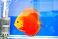 Pompadour fish in fish tank Stock Images