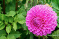 Pompom Dahlia Royalty Free Stock Photo