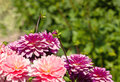 Pompom dahlias multicolored in the bright sun Royalty Free Stock Photography