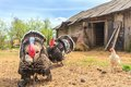 Pompous blown turkeys on chicken coop Royalty Free Stock Photo