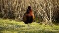 Pompous pheasant. Royalty Free Stock Photo