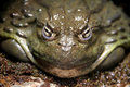 Pompous toad we are not amused Royalty Free Stock Photos