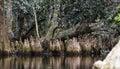 Pond Cypress Knees, Spanish Moss, Okefenokee Swamp National Wildlife Refuge