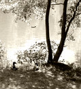 Pond with ducks and tree. Royalty Free Stock Photo