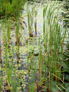 Pond flora water reeds and other Stock Photography