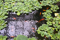 Pond with gold red fish and green plants Royalty Free Stock Photo