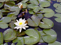 Pond Lily Royalty Free Stock Photo