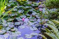 Pond Lily Pads Royalty Free Stock Photo