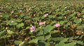 Pond with lotus flowers nelumbo nucifera Stock Photos