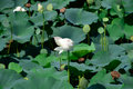Pond with lotuses. Lotuses in the growing season. Decorative plants in the pond Royalty Free Stock Photo