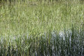 At the pond photograph of shoreline of a with lots of grass and muddy ground Royalty Free Stock Images