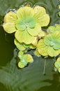 Pond plants floating in a Royalty Free Stock Images