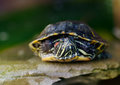 Pond Slider, Red-eared Turtle Close-up Royalty Free Stock Photo