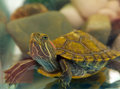 Pond slider terrapin terrapin turtle Stock Images