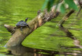 Pond turtle, tortoise, on a tree branch over water in sun, copy space, Indian Tent Turtle, Pangshura tecta Royalty Free Stock Photo