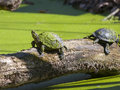 Pond turtles european emys orbicularis are sunbathing Royalty Free Stock Images
