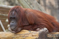 A Pondering Orangutan Royalty Free Stock Photos