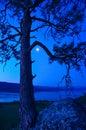 Ponderosa pine above fintry provincial park at pre dawn okanagan lake Royalty Free Stock Images
