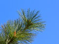 Ponderosa pine needles against a blue sky Royalty Free Stock Images