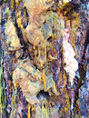 Ponderosa pine sap and bark is oozing on this high desert in bend oregon Stock Photography