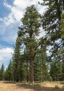 Ponderosa Pine in a clearing Royalty Free Stock Photo