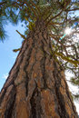 Ponderosa pine with sun a pinus viewed from below Royalty Free Stock Photography