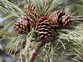 Ponderosa pine tree with mature open cones in the spring Stock Image