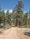 Ponderosa pines on the back road to the grand canyon Royalty Free Stock Images