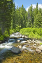 Ponderosa pines with creek in payette national forest near mccall idaho Stock Image