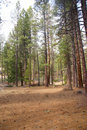 Ponderosa pines and forest floor Royalty Free Stock Photography