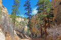 Ponderosa pines in lick wash landscape canyon with Royalty Free Stock Photos