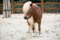 Poney de shetland Photos stock