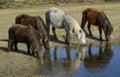 Ponies drinking water bodmin moor Stock Image
