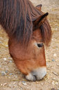 Ponies are generally considered intelligent and friendly though sometimes they also are described as stubborn or cunning Royalty Free Stock Photography