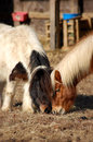 Ponies lunch date shetland eating hay together Stock Image