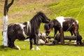 Ponies in moieciu de sus brasov romania Royalty Free Stock Photography