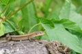 Pontic lizard Darevskia pontica Rock lizards sits on an old stump Royalty Free Stock Photo