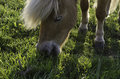 Pony on a field eating grass Royalty Free Stock Image