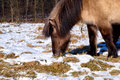 Pony graze grass on winter pasture Stock Photo