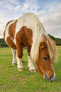 Pony grazing brown and white on green grass in the new forest england Royalty Free Stock Photography