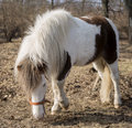 Pony grazing near the farm Royalty Free Stock Images