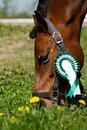 Pony with green rosette Stock Image
