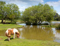 Pony by lake New Forest Hampshire England UK on a summer day Royalty Free Stock Photo