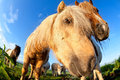 Pony muzzle on pasture close up horse fish eye view Royalty Free Stock Photos