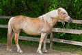Pony standing near old wooden fence Stock Image