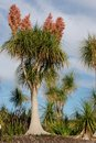 Pony Tail Palm Trees Stock Photography