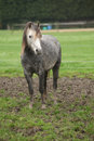 Pony on typical autumn pasturage grey mud Royalty Free Stock Photo