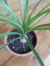 Ponytail palm tree young beaucarnea recurvata Stock Photos
