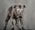 Pooch black puppy on a gray background Royalty Free Stock Image